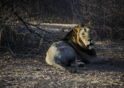 Gir Lion Safari